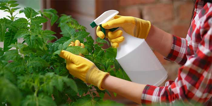 cooking oil being used as insecticide to spray on plants