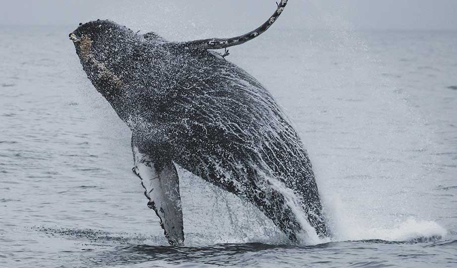 Featured image for A Brighter Future For Humpback Whales article