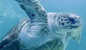 Featured image for Giant Sea Turtle Rescued on Cape Cod Returns to the Ocean article