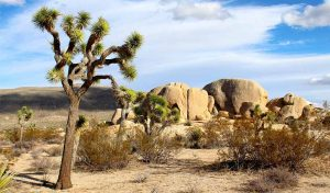 Featured image for Official Protection For Joshua Trees In California article
