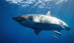 Featured image for Queen Of The Ocean Shark Mother To 100 Offspring Found Near Nova Scotia article
