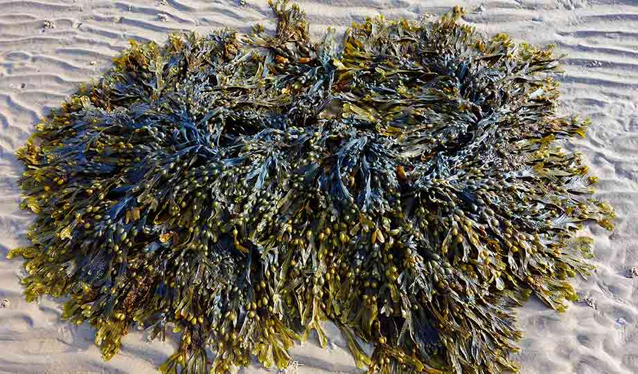 Featured image for Seaweed Bacteria Can Make Laundry Environmentally Friendly article