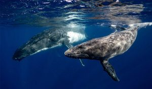 Featured image for Whale Safe Technology Aims to Reduce Whale-Ship Collisions featured image