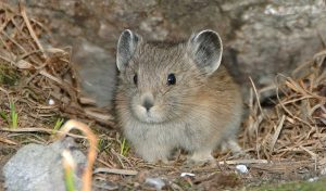 Featured image for American Pika Defies Climate Change article