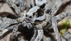 Featured image for An Endangered Spider Returns To The UK article