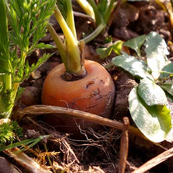 Carrot planted in the ground