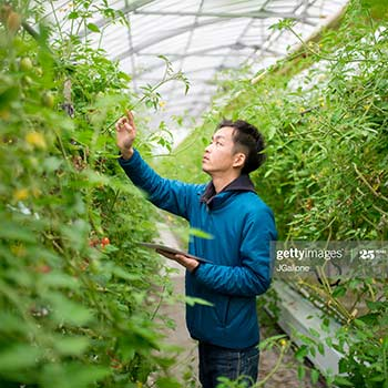 Plants being inspected by a male urban grower