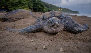 Featured image for Rare Leatherback Turtle Spotted Off Hebridean Coast article