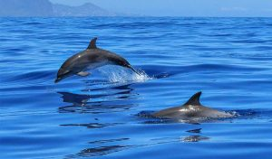 Featured image for There Are Early Signs Of A Dolphin Comeback In The Adriatic Sea article