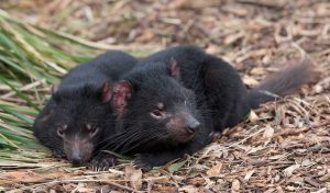 Featured image for How Tasmanian Devils Can Heal Native Australian Forests article