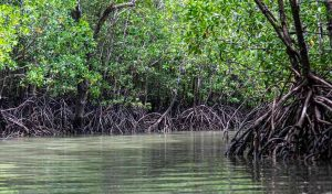 Featured image for Kenya's Mangroves Acknowledged For Carbon Credits article