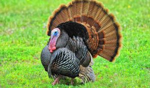 Featured image for Wild Turkeys On The Rise In Vermont article