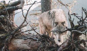 Featured image for Wolves To Be Reintroduced To Colorado Following Historic Public Vote article