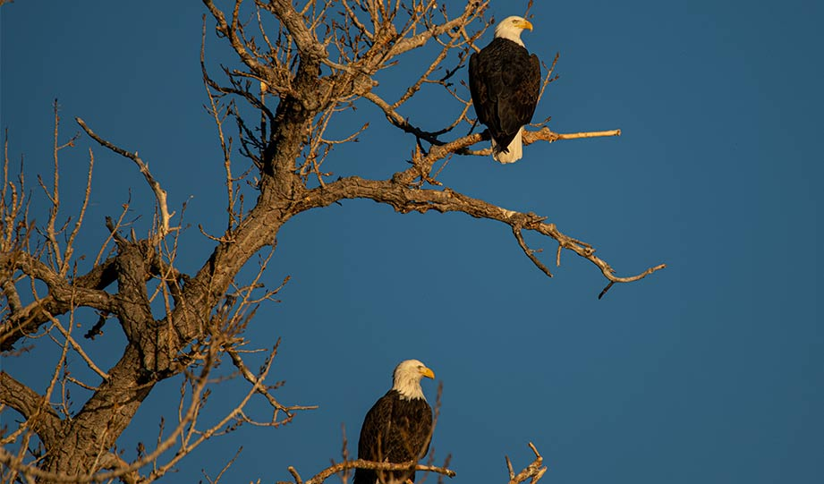 Featured image for Bald Eagles No Longer Endangered In Indiana article