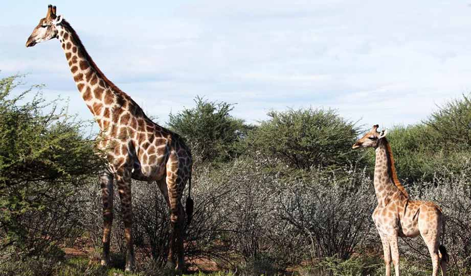 Featured image for First Ever Encounter Of Dwarf Giraffes article