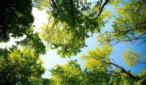 Fluorescent Evergreen Glow A Clear Sign That Trees Are Using Up Carbon article
