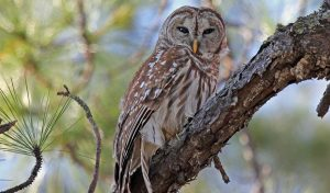 Featured image for LSU Heal Injured Owl, Release It Back to the Wild article
