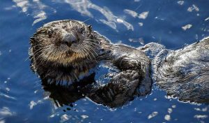 Featured image for Let's Bring Sea Otters Back To San Francisco Bay article