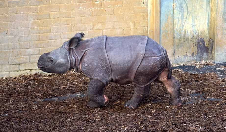 Featured image for Rare Indian Rhino Baby Born In Poland Zoo article