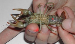 Featured image for Scientists Learn New Ways To Save Endangered Crayfish article
