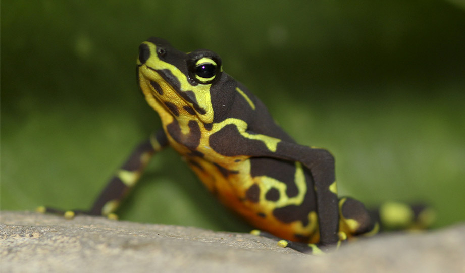 Featured image for A Conservation Success for Tiny Frogs article