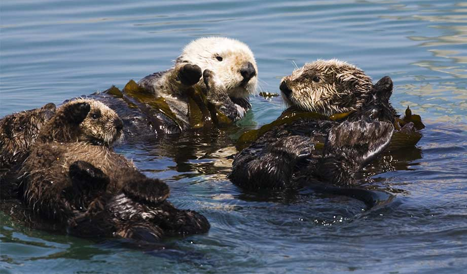 Featured image for Green-Pawed Sea Otters Are Saving California's Kelp Forests article