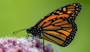 Featured image for New Discoveries Help Monarch Butterfly Conservation article