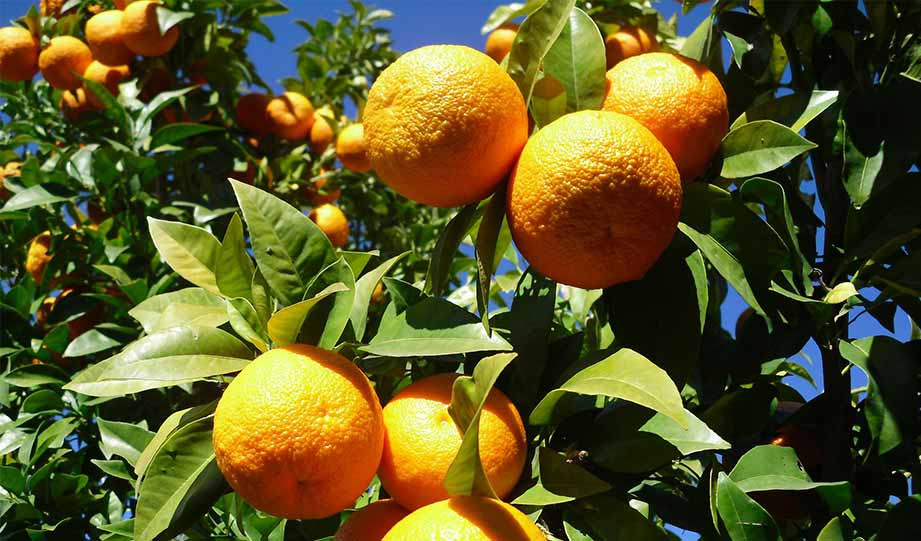 Featured image for Spain's Seville Oranges Find A New Use In Energy Production article
