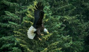 Featured image for Featured image for Bald Eagle Populations Are Climbing In Lower 48 States article