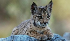 Featured image for Conservation Efforts Bring Iberian Lynx From the Edge of Extinction article