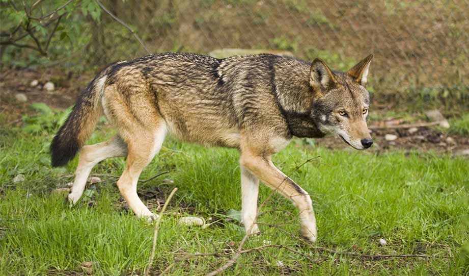 Featured image for Government Reveals Plan to Release More Endangered Red Wolves article