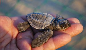 Featured image for Mediterranean Island Sees Significant Increase In Turtle Population article