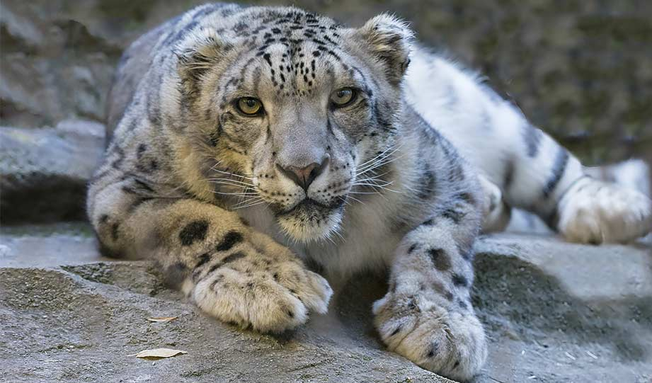 Featured image for Mongolian Snow Leopard Research Reveals Surprisingly Good News for This Species article
