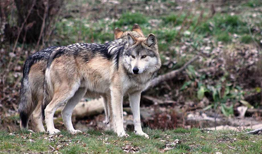 Featured image for Wild Population of Endangered Mexican Wolves on the Rise article
