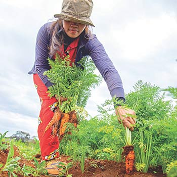 Carrots being picked by a girl in a garden