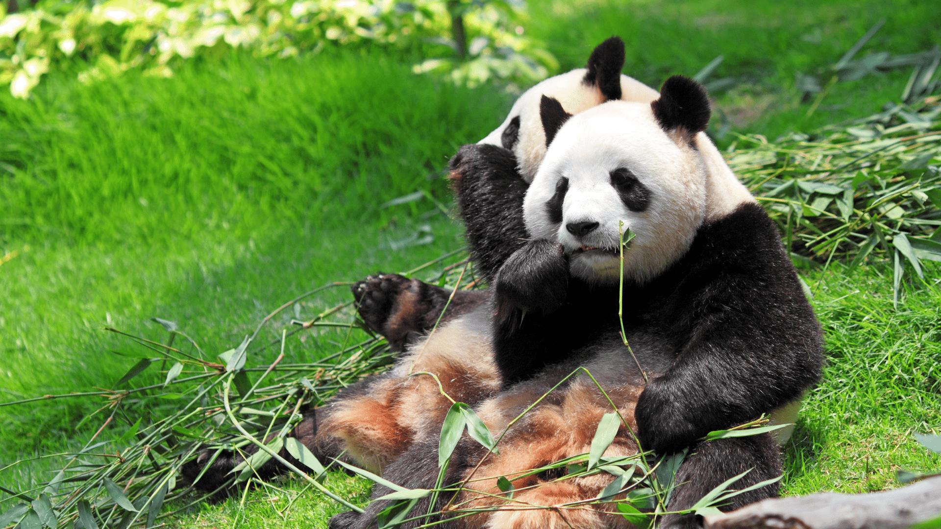 panda no longer endangered